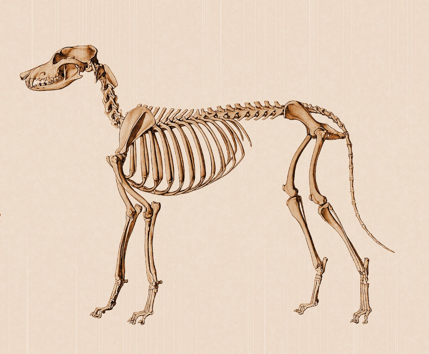 dog anatomy lateral skeleton view