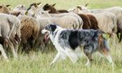 Pasmine po namjeni - pastirski psi: čuvari stada, ovčari, govedari....