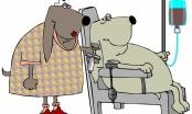 Pokrenule smo bazu pasa donora krvi za tranfuziju koja je već spasila nekoliko života! - razgovor s dvije Petre