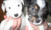 15 pitanja koja trebate pitati kada kupujete čistokrvno štene!